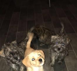 Pets  - Westie X Shitzu