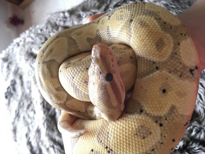 Banana royal python