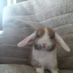 Baby mini lop (ready to reserve)