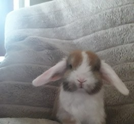 Pets for Sale - Baby mini lop (ready to reserve)