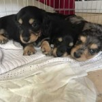 **** Champion Line Miniature Long Haired Dachshund Puppies ****