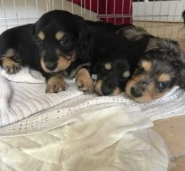 Pets  - **** Champion Line Miniature Long Haired Dachshund Puppies ****
