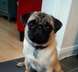 Pets  - Pug 14 months needs loving family