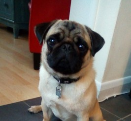 Pug 14 months needs loving family