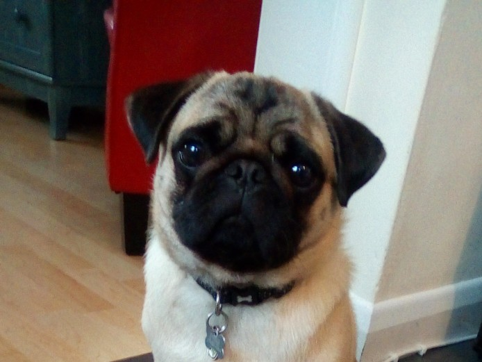 Pug 14 months needs loving family