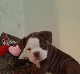 Pets  - Adorable old tyme bulldogs puppies for sale