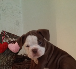 Adorable old tyme bulldogs puppies for sale
