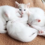 Gorgeous white female kittens