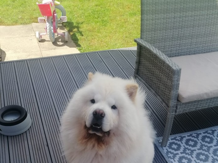 Looking to adopt a chow chow!