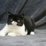 Exotic shorthair kitten, male, with CFA & FIFE pedigree