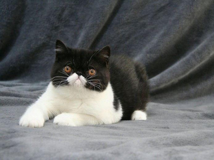 Exotic shorthair kitten, male, with CFA & FIFE pedigree
