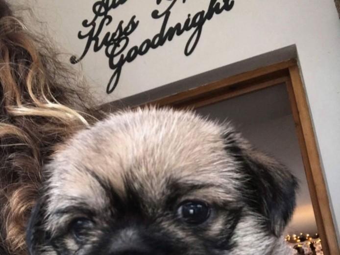 Pug-shi Puppies (pug X Shihtzu)