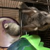 Pets for Sale - 3 Chinchillas and cage and accessories for sale
