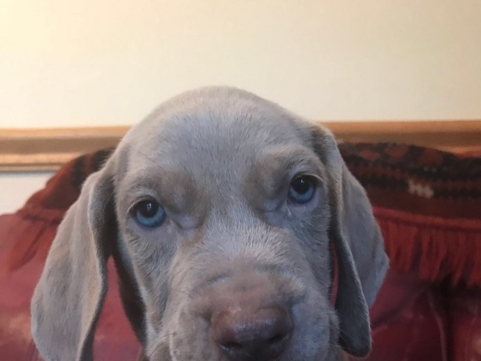 Gorgeous Weimaraner puppies