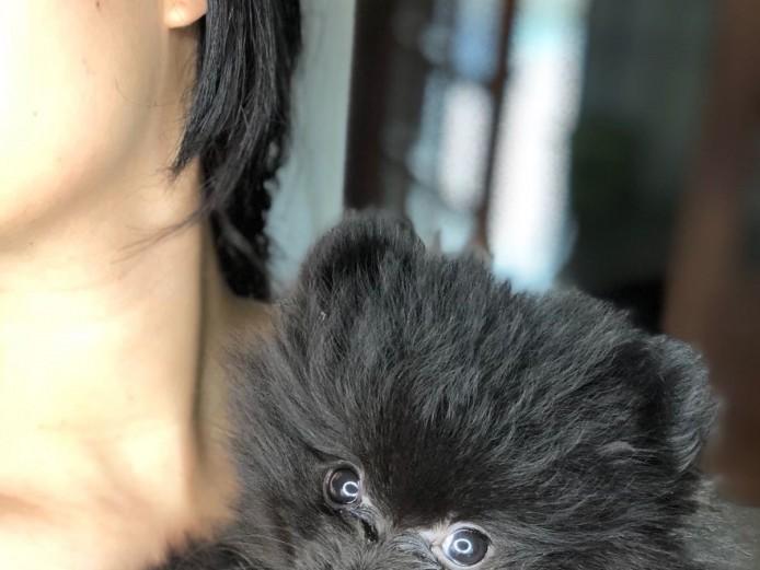 Mini Blue Pom; Onyx Prince