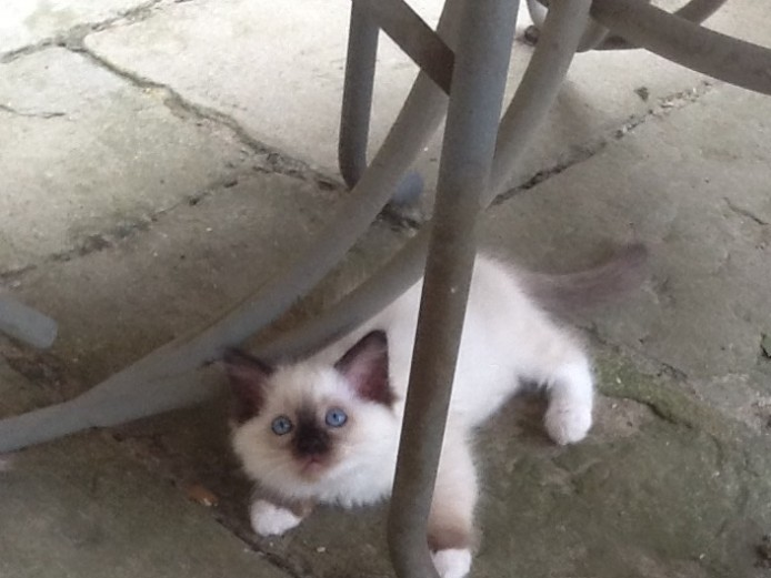 Simply Stunning gccf registered ragdoll kittens