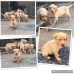 Red/Golden Labrador pups