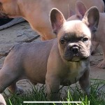 3 handsome French bulldog puppies ready to leave Friday