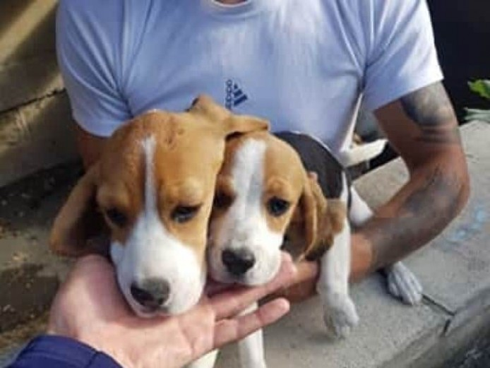 Beagles for sale