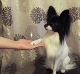 Pets for Sale - Epagneul Nain Continental ( Papillon )