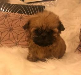 Pets  - Stunning Imperial Karashishi Shih Tzu Puppies