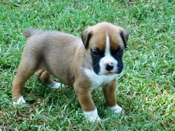 Stunning Boxer Puppies *only 1 Girl & 1 Boy Left*