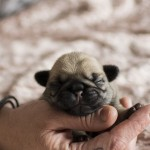 beautiful pug puppies 4 female