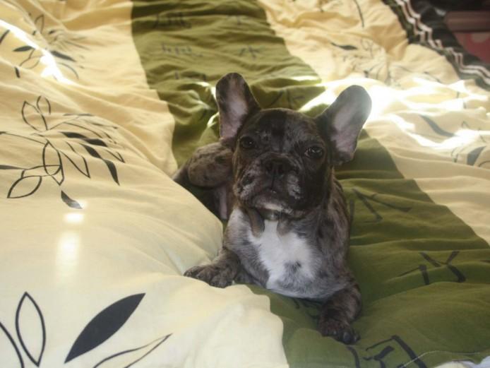French bulldog MERLE BOY