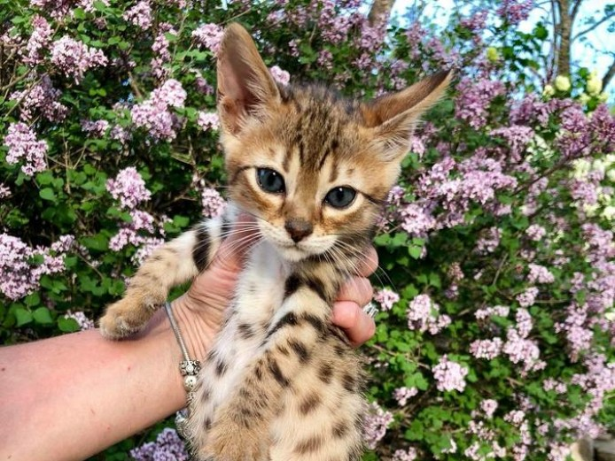 Beautiful Litter Of F5 Savannahs Kittens