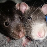 Two male rats for rehoming. (Cage and Accs)