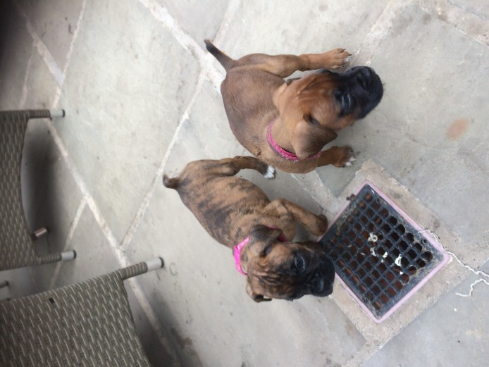 Boxer puppies for sale kc reg