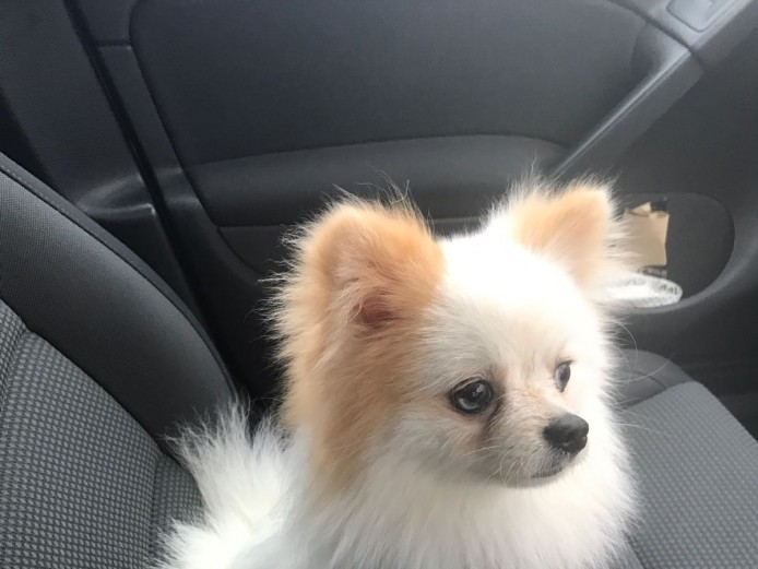 Blue eyed white Merle pomeranian male