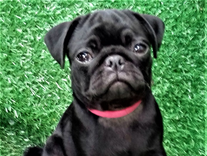 K.C.REG.STUNNING FIVE GENERATION BLACK PUG PUPPIES