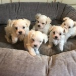 Exceptional Maltese Puppies Looking For Loving Home