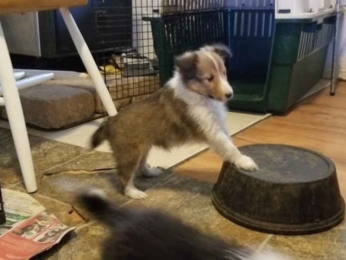 Beautiful Shetland Sheepdog Puppies