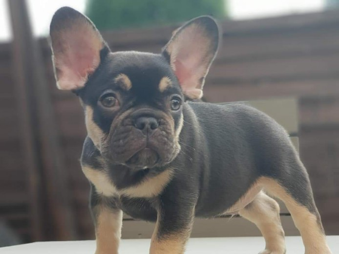 4 Beautiful coloured French bulldog puppies