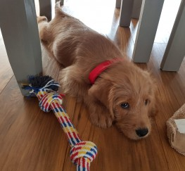 Pets  - Beautiful 11 week labradoodle:)