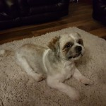 1 Year old male Shih Tzu