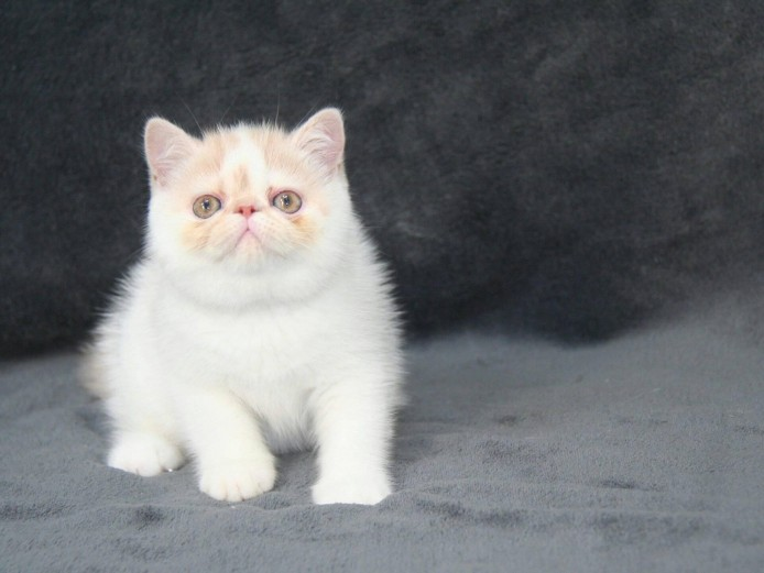 Exotic Shorthair male kitten, for company & show