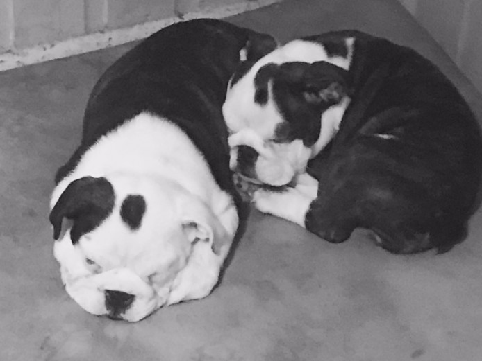 British Bulldogs Puppies Kc Reg