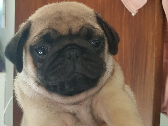 Kc reg chunky pug puppies ready 22nd oct