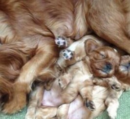 Beautiful litter of Ruby red cavalier king Charles puppys