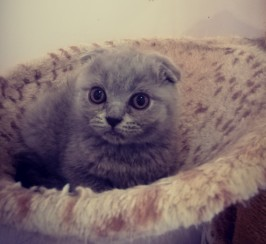 Unique Scottish Fold and straight kittens