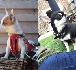 Pets  - Chihuahua Puppies for sale