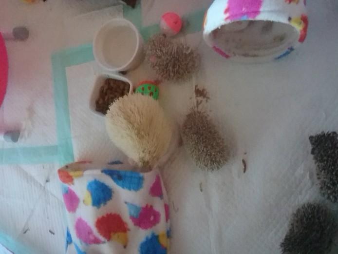 African pygmy hedgehog babies