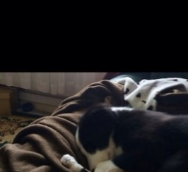 Lola, Border collie, 1YR