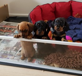 Pets  - Pups for sale