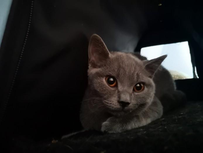 British shorthaired kitten 5 months old