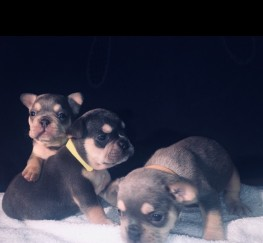Pets for Sale - French Bulldog Puppies KC