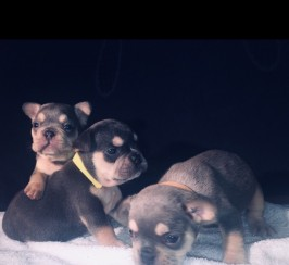 French Bulldog Puppies KC